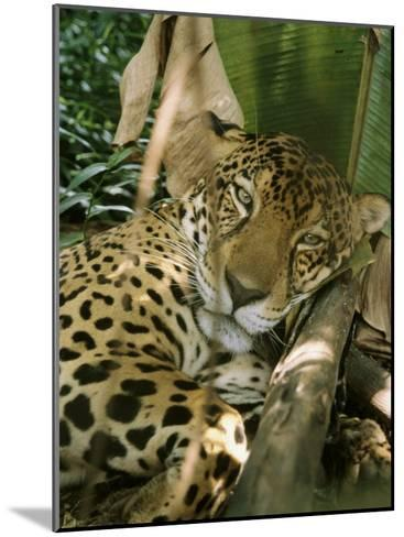 A Jaguar Rests on the Jungle Floor-Ed George-Mounted Photographic Print