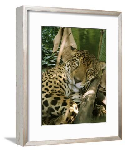A Jaguar Rests on the Jungle Floor-Ed George-Framed Art Print