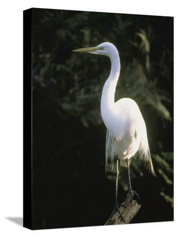 A White Egret Perches on a Tree Stump-Ed George-Stretched Canvas Print