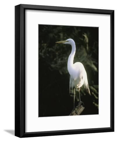 A White Egret Perches on a Tree Stump-Ed George-Framed Art Print