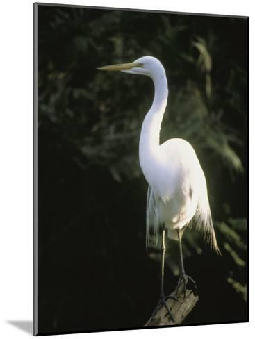A White Egret Perches on a Tree Stump-Ed George-Mounted Photographic Print