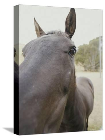 Close View of a Horses Face-Jason Edwards-Stretched Canvas Print