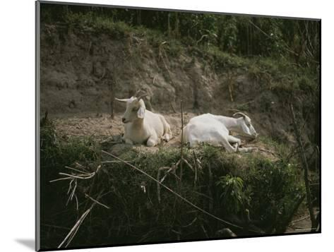 Two White Goats at Rest-Medford Taylor-Mounted Photographic Print