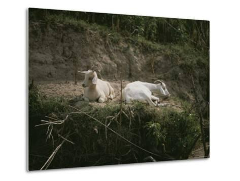 Two White Goats at Rest-Medford Taylor-Metal Print