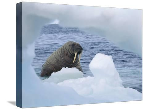 A Walrus Peers Through a Hole in an Iceberg-Norbert Rosing-Stretched Canvas Print