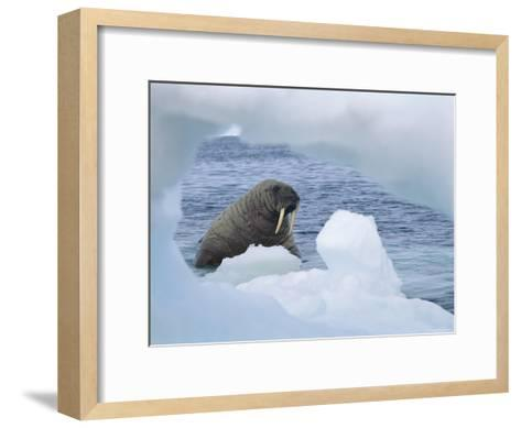 A Walrus Peers Through a Hole in an Iceberg-Norbert Rosing-Framed Art Print