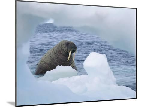A Walrus Peers Through a Hole in an Iceberg-Norbert Rosing-Mounted Photographic Print