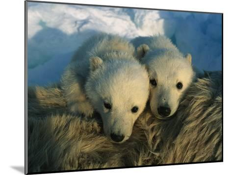 A Pair of Young Polar Bear Cubs-Norbert Rosing-Mounted Photographic Print