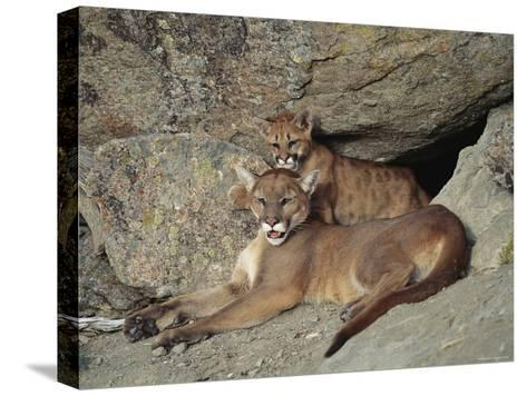 A Mother Mountain Lion and Her Cub Rest at the Entrance to a Cave-Norbert Rosing-Stretched Canvas Print