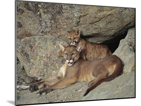 A Mother Mountain Lion and Her Cub Rest at the Entrance to a Cave-Norbert Rosing-Mounted Photographic Print