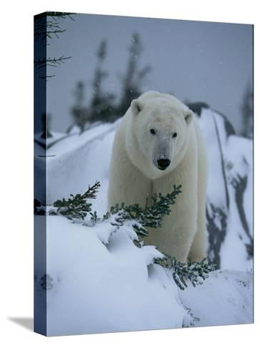 A Polar Bear in a Snowy, Twilit Landscape-Norbert Rosing-Stretched Canvas Print