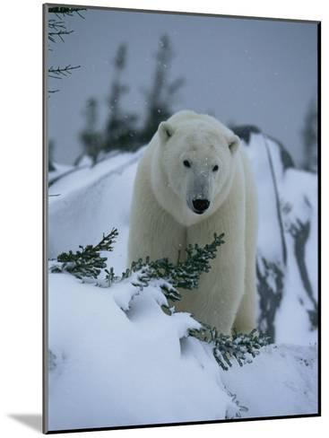 A Polar Bear in a Snowy, Twilit Landscape-Norbert Rosing-Mounted Photographic Print