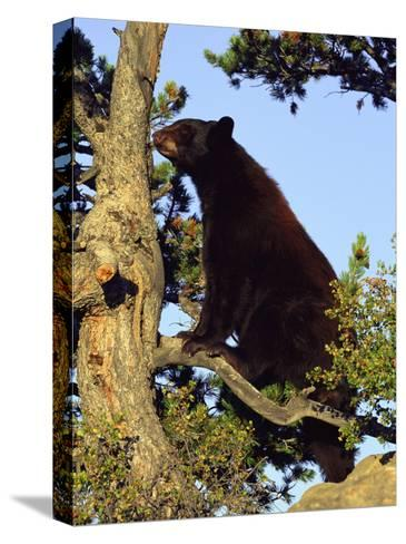 An American Black Bear Stands in a Tree-Norbert Rosing-Stretched Canvas Print