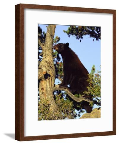 An American Black Bear Stands in a Tree-Norbert Rosing-Framed Art Print
