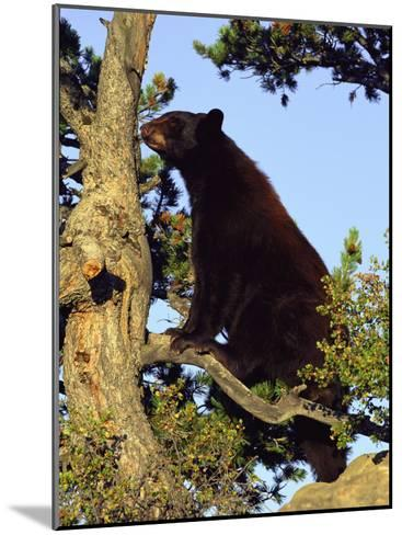 An American Black Bear Stands in a Tree-Norbert Rosing-Mounted Photographic Print