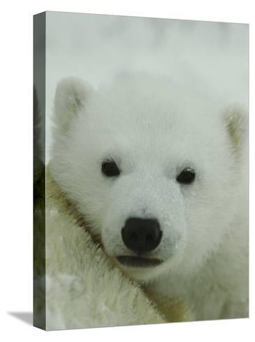 A Portrait of a Polar Bear Cub-Norbert Rosing-Stretched Canvas Print