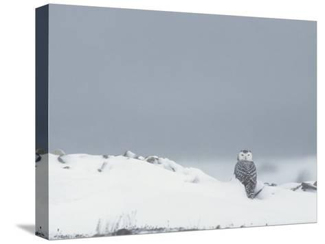 A Juvenile Snowy Owl in a Snowy Landscape-Norbert Rosing-Stretched Canvas Print