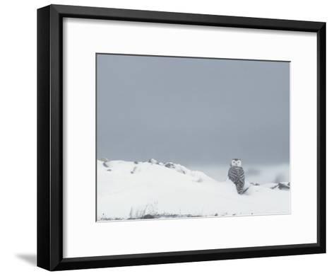 A Juvenile Snowy Owl in a Snowy Landscape-Norbert Rosing-Framed Art Print