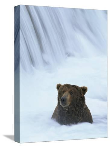 Brown Bear Sits in Froth of Waterfall During Salmon Spawning-Michael Melford-Stretched Canvas Print