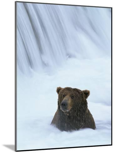 Brown Bear Sits in Froth of Waterfall During Salmon Spawning-Michael Melford-Mounted Photographic Print