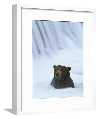 Brown Bear Sits in Froth of Waterfall During Salmon Spawning-Michael Melford-Framed Art Print