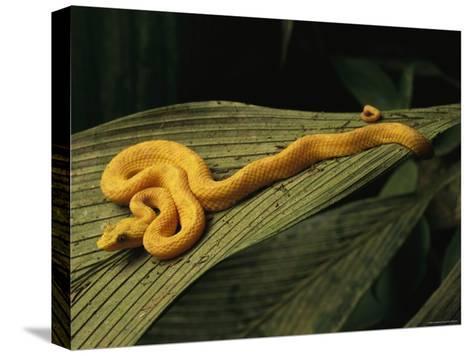 A Golden Morph of Eyelash Viper on a Leaf-Steve Winter-Stretched Canvas Print