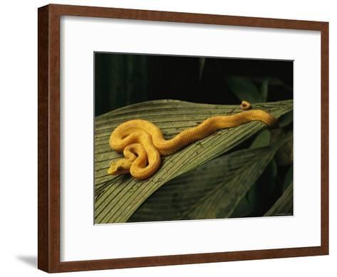 A Golden Morph of Eyelash Viper on a Leaf-Steve Winter-Framed Art Print