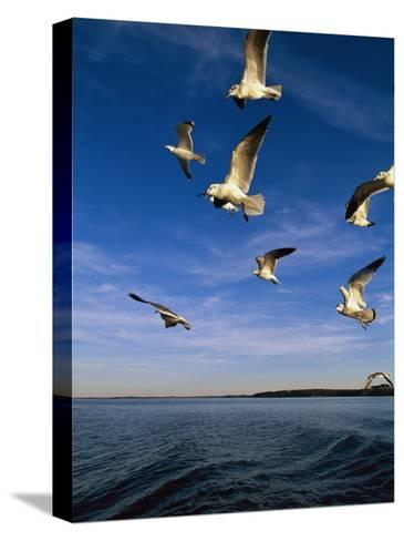 Gulls in Flight-Steve Winter-Stretched Canvas Print