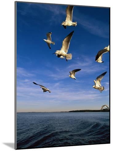 Gulls in Flight-Steve Winter-Mounted Photographic Print
