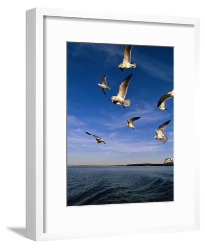 Gulls in Flight-Steve Winter-Framed Art Print