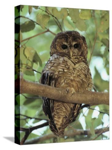 A Northern Spotted Owl (Strix Occidentalis) Peers from a Tanoak Tree-Paul Chesley-Stretched Canvas Print
