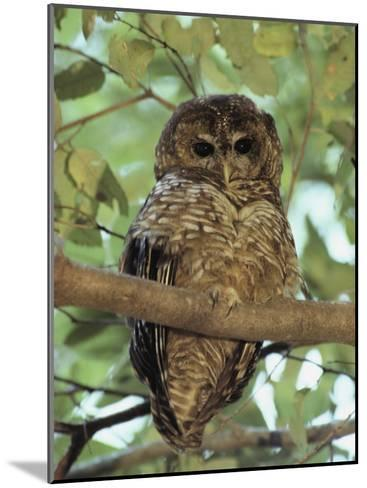 A Northern Spotted Owl (Strix Occidentalis) Peers from a Tanoak Tree-Paul Chesley-Mounted Photographic Print