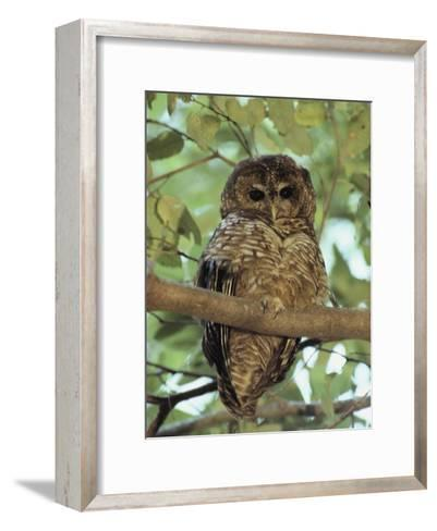 A Northern Spotted Owl (Strix Occidentalis) Peers from a Tanoak Tree-Paul Chesley-Framed Art Print