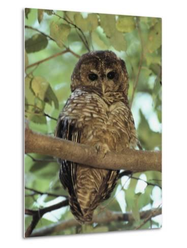 A Northern Spotted Owl (Strix Occidentalis) Peers from a Tanoak Tree-Paul Chesley-Metal Print