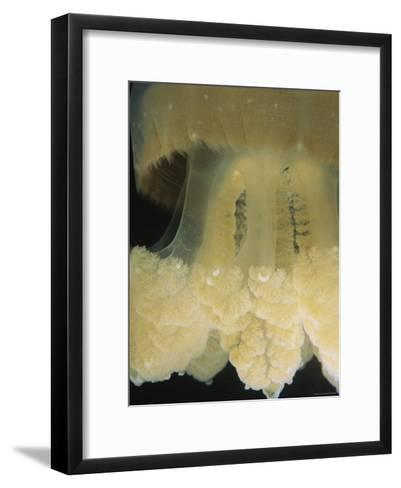 A Close View of the Tentacles of a Mastigias Species Jellyfish-Tim Laman-Framed Art Print