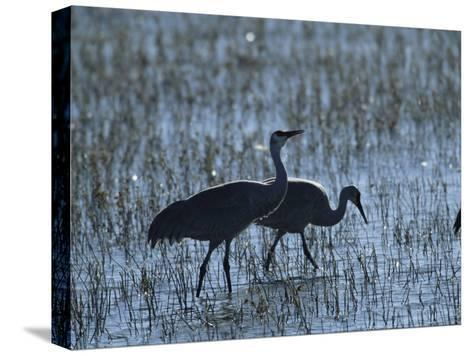 A Pair of Rare Japanese Red-Crowned Cranes Hunt in Shallow Water-Tim Laman-Stretched Canvas Print