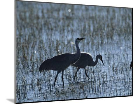 A Pair of Rare Japanese Red-Crowned Cranes Hunt in Shallow Water-Tim Laman-Mounted Photographic Print