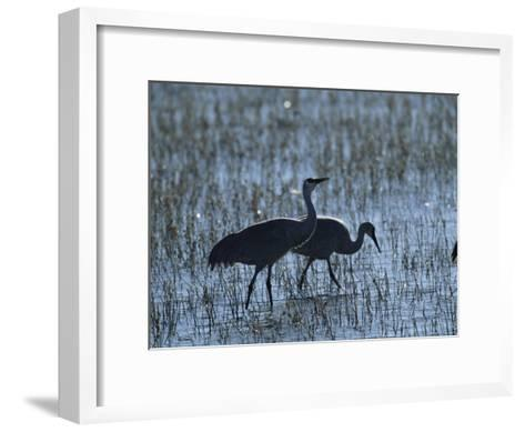 A Pair of Rare Japanese Red-Crowned Cranes Hunt in Shallow Water-Tim Laman-Framed Art Print