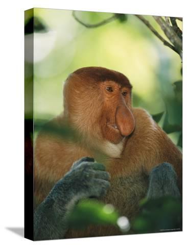 A Portrait of an Adult Male Proboscis Monkey-Tim Laman-Stretched Canvas Print