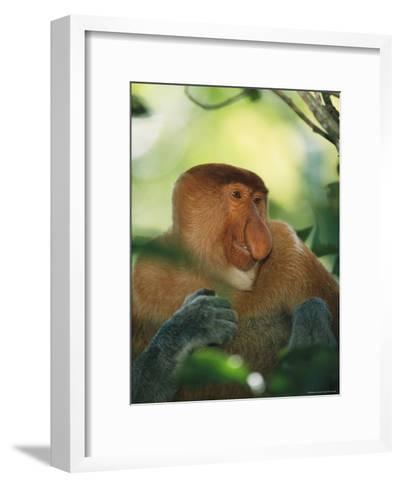 A Portrait of an Adult Male Proboscis Monkey-Tim Laman-Framed Art Print