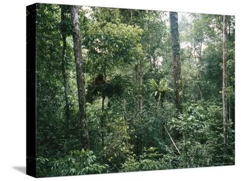 An Orangutan Nesting in a Tree in Gunung Palung National Park-Tim Laman-Stretched Canvas Print