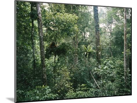 An Orangutan Nesting in a Tree in Gunung Palung National Park-Tim Laman-Mounted Photographic Print