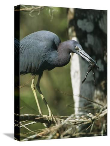 Little Blue Heron (Egretta Caerulea), with Frog, Corkscrew Swamp, Fl--Stretched Canvas Print