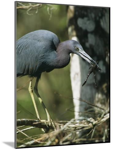 Little Blue Heron (Egretta Caerulea), with Frog, Corkscrew Swamp, Fl--Mounted Photographic Print