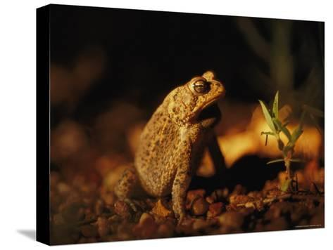 An Endangered Houston Toad-Joel Sartore-Stretched Canvas Print