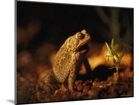 An Endangered Houston Toad-Joel Sartore-Mounted Photographic Print