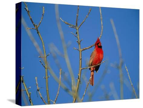 A Male Cardinal Sings in a Suburban Omaha Tree-Joel Sartore-Stretched Canvas Print