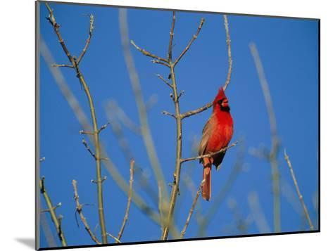 A Male Cardinal Sings in a Suburban Omaha Tree-Joel Sartore-Mounted Photographic Print