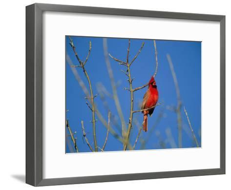 A Male Cardinal Sings in a Suburban Omaha Tree-Joel Sartore-Framed Art Print