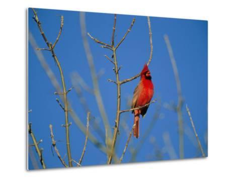 A Male Cardinal Sings in a Suburban Omaha Tree-Joel Sartore-Metal Print